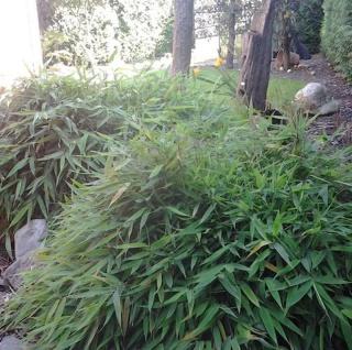 Mini Bambus Elias 40-50cm - Fargesia murielae