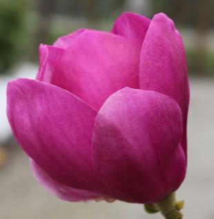Hochstamm Magnolie Cleopatra® 100-125cm - Magnolia
