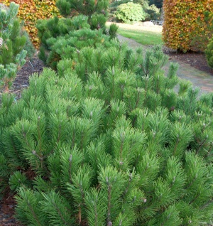 Zwerg Bergkiefer 10-15cm - Pinus mugo