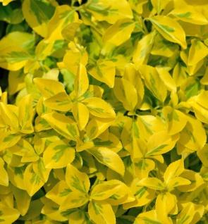 10x Goldbunte Kriechspindel Emerald Gold 10-15cm - Euonymus fortunei