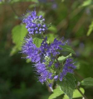 Bartblume Blue Empire® 40-60cm - Caryopteris clandonensis