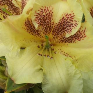 Großblumige Rhododendron Goldsprenkel 30-40cm - Alpenrose
