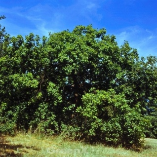 Hängende Stiel Eiche 100-125cm - Quercus robur