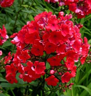 Hohe Flammenblume Starfire - Phlox Paniculata