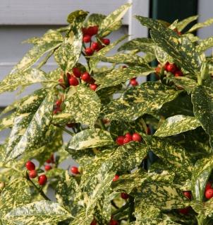 Japanische Aucube Variegata 100-125cm - Aucuba japonica Variegata