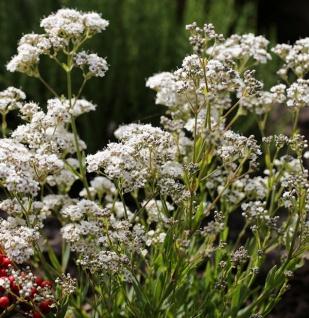 Riesenschleierkraut Golem - Gypsophila Paniculata