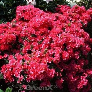 Japanische Azalee Hatsugin 30-40cm - Rhododendron obtusum - Zwerg Alpenrose