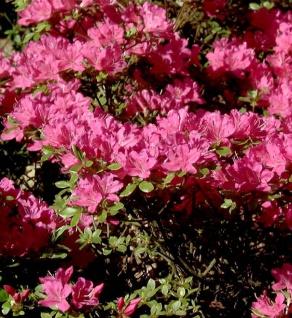 Japanische Azalee Diamant Purpur 30-40cm - Rhododendron obtusum - Zwerg Alpenrose