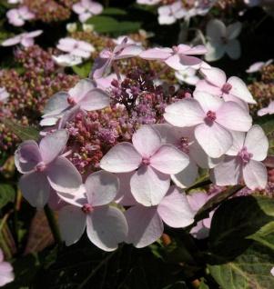 Teller Hortensie Grayswood 30-40cm - Hydrangea serrata