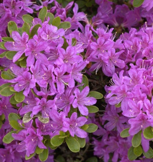 Japanische Azalee Diamant Enzianblau 20-25cm - Rhododendron obtusum - Zwerg Alpenrose