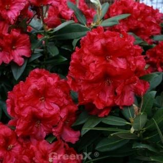 INKARHO - Großblumige Rhododendron Frühlingsglühen® 30-40cm - Alpenrose
