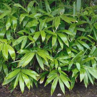 Breitblatt Bambus 60-80cm - Sasa tsuboiana