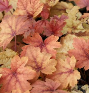 Teppich Purpurglöckchen Sweet Tea - Heucherella tiarelloides
