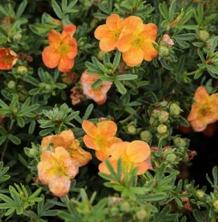 10x Fünffingerstrauch Mango Tango - Potentilla fruticosa - Vorschau