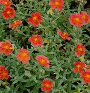 Sonnenröschen Fire Dragon - Helianthemum cultorum
