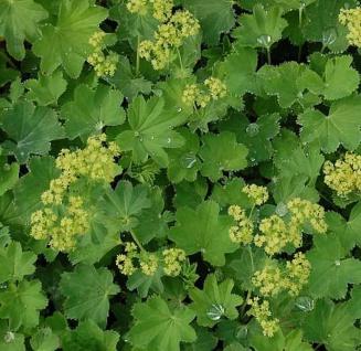 Frauenmantel grün gelb - Alchemilla epipsila