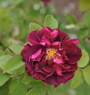 Historische Rose Tuscany Superb 30-60cm