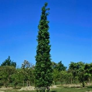 Säulen Eiche Koster 60-80cm - Quercus robur Fastigiata