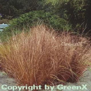 Fuchsrote Segge - Carex buchananii