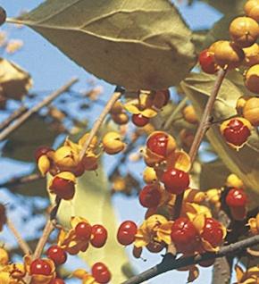 männlicher Baumwürger Herculus 60-80cm - Celastrus orbiculatus