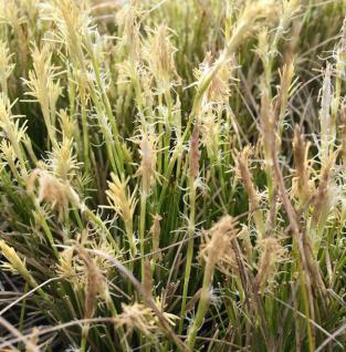 Weiße Segge - Carex alba