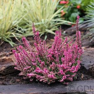 10x Besenheide Arabella - Calluna vulgaris