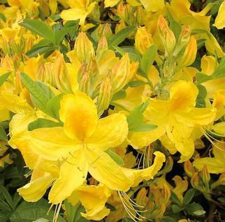 Hochstamm Azalee Goldtopas 60-80cm - Rhododendron luteum - Alpenrose