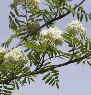 Eßbare Eberesche 80-100cm - Sorbus aucuparia