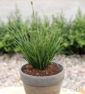 Segge Verde - großer Topf - Carex brunnea