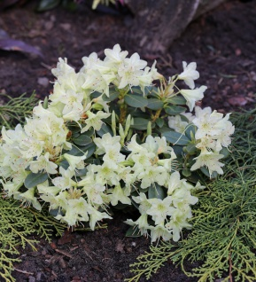 Zwerg Wild Alpenrose Crane 25-30cm - Rhododendron keiskei