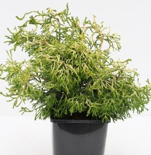 Gelbe Hinoki Scheinzypresse Tsatsumi Gold 10-15cm - Chamaecyparis obtusa