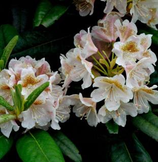 Rhododendron brachycarpum 50-60cm