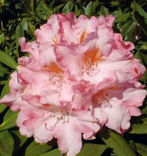 INKARHO - Rhododendron Pink Cherub 25-30cm - Alpenrose