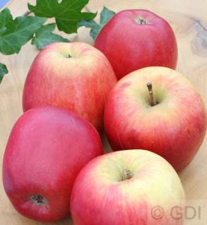 Apfelbaum Groninger Krone 60-80cm - ein Winterapfel