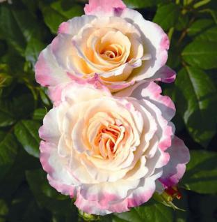 Nostalgierose Aquarell® 30-60cm - Tantau Rose