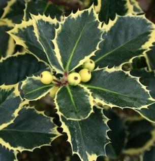 Gelbbunte Stechpalme Aurea 60-80cm - Ilex aquifolium