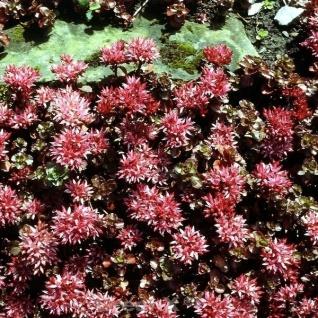 Kaukasus Asienfetthenne Schorbuser Blut - Sedum spurium