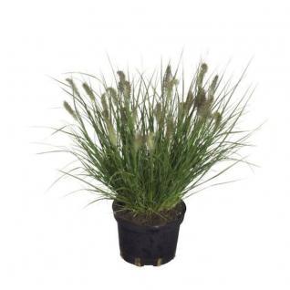 Lampenputzergras Cassian - Pennisetum alopecuroides