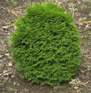 Lebensbaum Little Giant 30-40cm - Thuja occidentalis - Vorschau