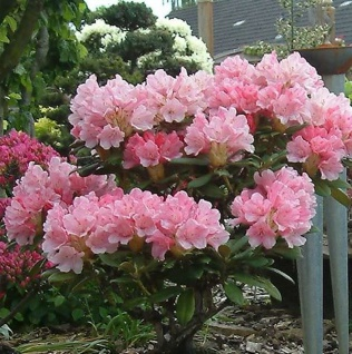 INKARHO - Rhododendron Loreley 15-20cm - Rhododendron yakushimanum