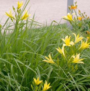 Wilde Taglilie - Hemerocallis
