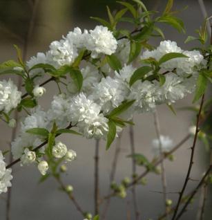 Chinesische Zwergkirsche 80-100cm - Prunus glandulosa
