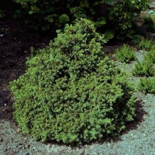 Zwerg Fichte Tompa 60-70cm - Picea abies