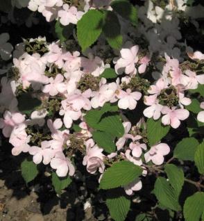 Japanischer Schneeball Pink Beauty 100-125cm - Viburnum plicatum