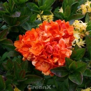 Azalee Goldköpfchen 30-40cm - Rhododendron luteum - Alpenrose
