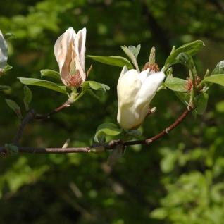 Hochstamm Magnolie Yellow Laterm 100-125cm - Magnolia