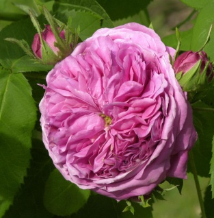Historische Rose Yolande d Aragon 30-60cm