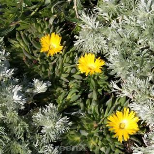 Staudenmittagsblume Yellow Summer - Delosperma nubigenum