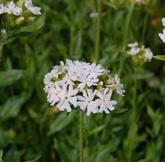 Lichtnelke Alba - Lychnis chalcedonica