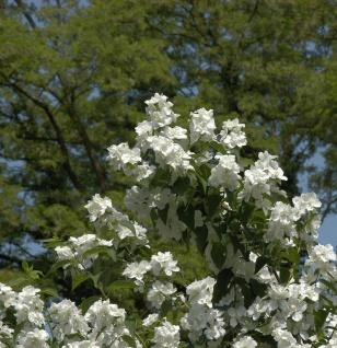 Gefüllter Gartenjasmin 80-100cm - Philadelphus
